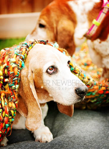 Basset Hound under a Blanket - www.jnphotography.ca @filemanager