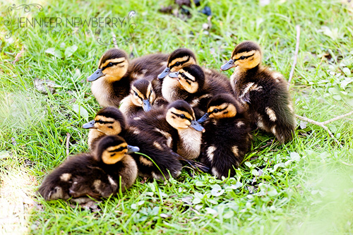 Baby ducklings by www.jnphotography.ca @filemanager